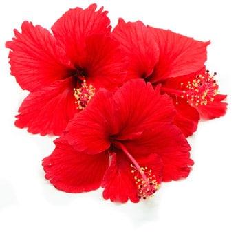 Capella Hibiscus